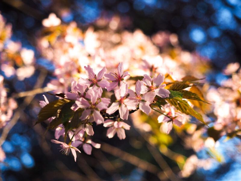 Roihuvuoren kirsikkapuisto täydessä loistossa